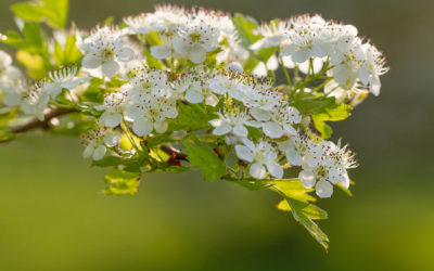 Celebrating Beltane with the Spirit of Hawthorn
