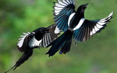 Magpies – A Story of Seven