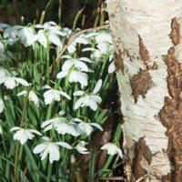 Celebrating Imbolc with the Spirit of Birch | 25/01/2020