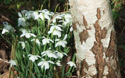 Celebrating Imbolc with the Spirit of Birch