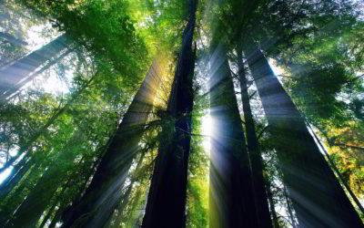 Of Redwoods and Renewal