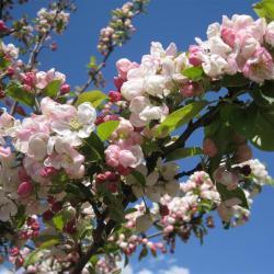 Tree Lore: Apple