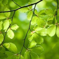 Tree Lore: Beech