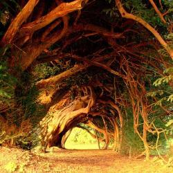 The Yew and the Druid Connection