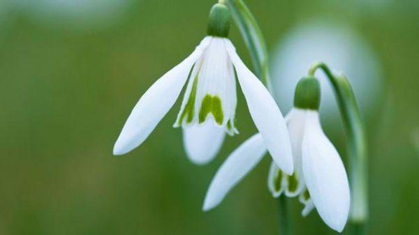 Imbolc ~ This Tender Blooming